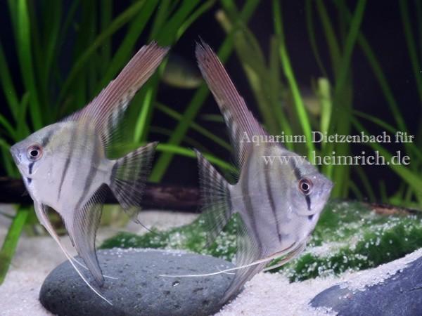 PERU ALTUM-Skalar, med (Pterophyllum altum - Nachzucht)