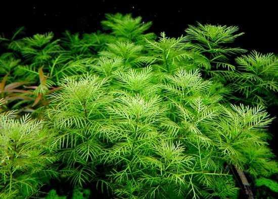 Myriophyllum hippuroides