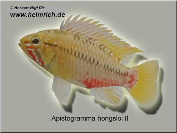 Apistogramma hongsloi II, XL (Hongsloi-Zwergbarsch)