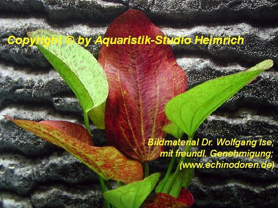 Echinodorus 'Paul Klöckner'
