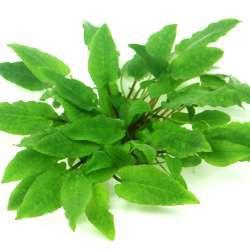 Cryptocoryne wendtii 'Broad Leaf' In-Vitro