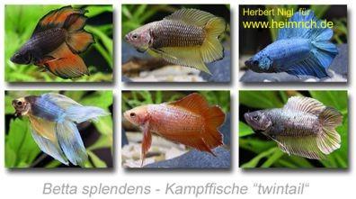 Siam. Kampffisch PREMIUM 'Twintail', lg (Betta splendens)