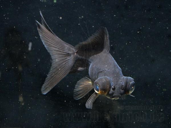 """Schleierschwanz, 6cm """"BLACK"""" (Carrasius auratus)"""