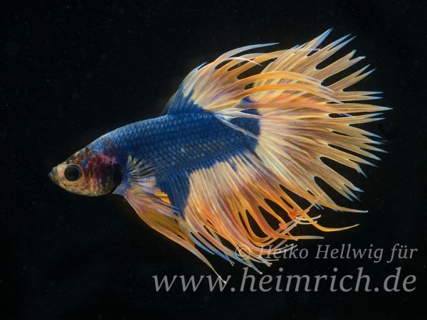 Siam. Kampffisch Crown Tail Dragon Blau Gelb, lg (Betta splendens)