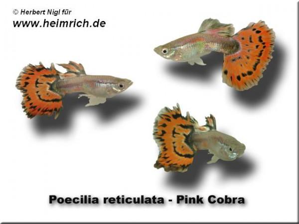 Guppy, Farbschlag Cobra Pink