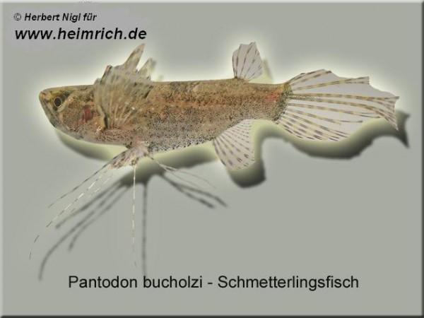 Pantodon buchholzi (Schmetterlingsfisch)