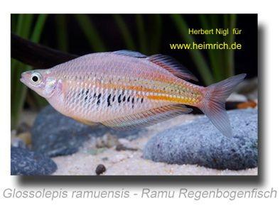 Glossolepis ramuensis (Ramu Regenbogenfisch)