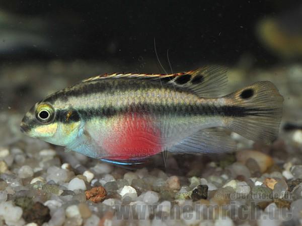 """Pelv. pulcher """"Super Red"""", weibl. SHOW (Purpurprachtbarsch)"""