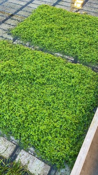Micranthemum spec Monte Carlo, auf Schwamm 40x60cm