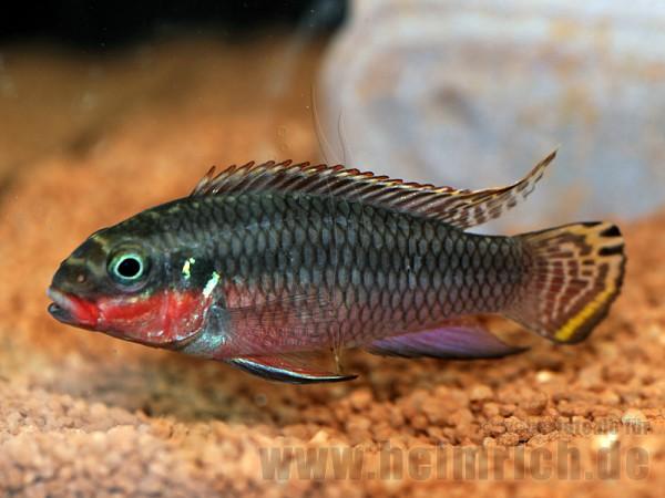 Pelvicachromis Taeniatus, Nigeria Red (Smaragdbuntbarsch)