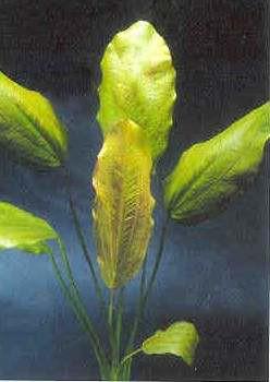 Echinodorus E131 (Echinodorus rose, Fa.Dennerle)