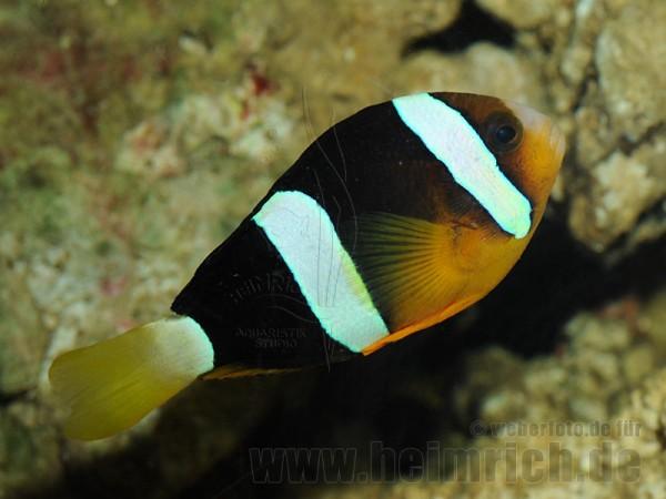 Amphiprion clarkii (Clarks-Anemonenfisch)