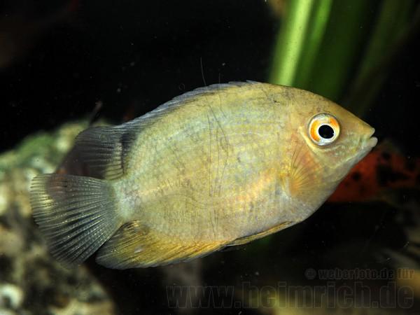 Cichlasoma serverum spec. GOLD, 6cm