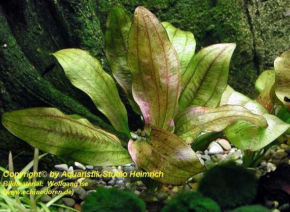 Echinodorus Dschungelstar Nr. 12 (Echinodorus 'Wild Crocodile')