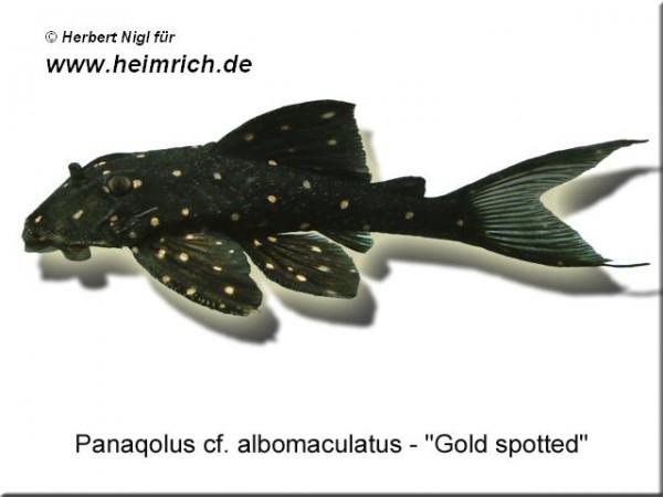 Panaqolus spec. albomaculatus (Zwergschilderwels)