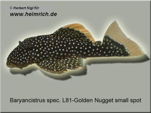 "L81 Baryancistrus spec. ""Golden Nugget small spot"""