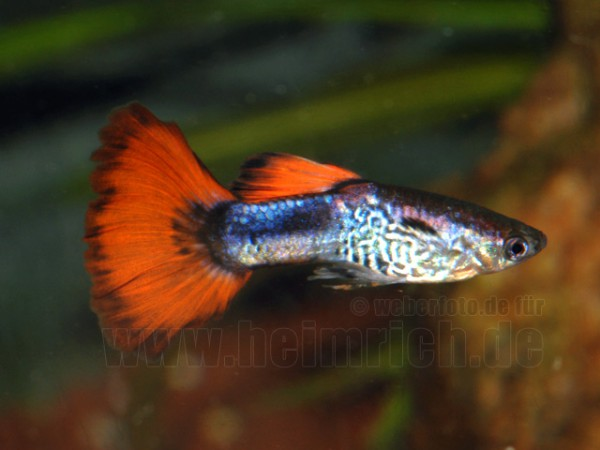 Guppy, Farbschlag Red-Triangel