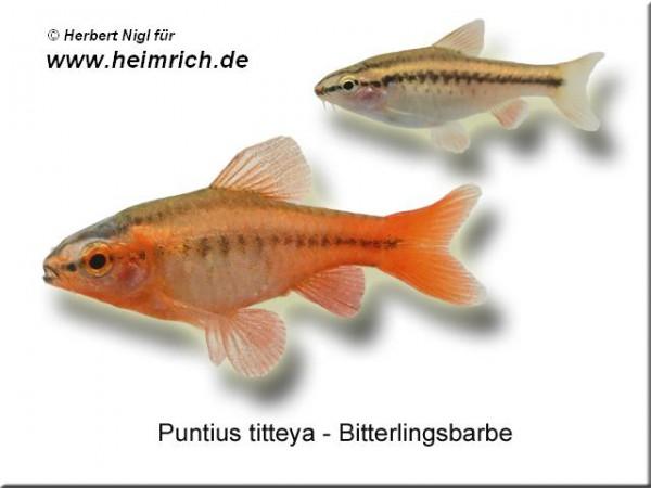 Bitterlingsbarbe, lg (Puntius titteya)