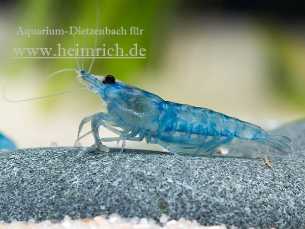 Neocaridina davidi, large (BLUE JELLY Zwergarnele)