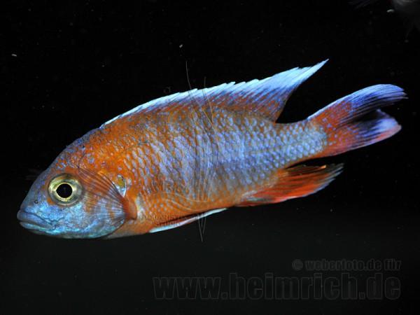 Aulonocara EUREKA (7-9cm) 7er-Zuchtgruppe