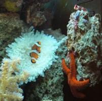 Heteractis malu (Hawaii-Anemone)