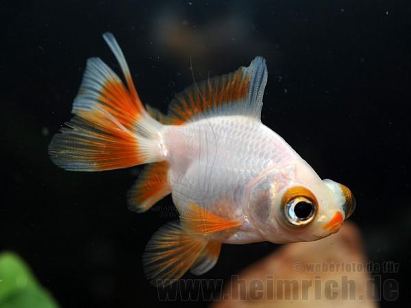"""Butterfly-Schleierschwanz, 6cm """"White/ Red spottet"""" (Carrasius a"""