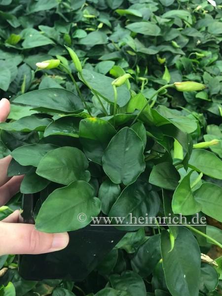 Anubia barteri nana XXL - Mutterpflanze