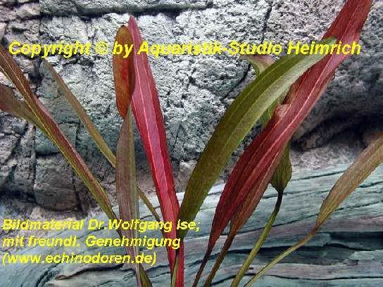 Echinodorus 'POSEIDON'