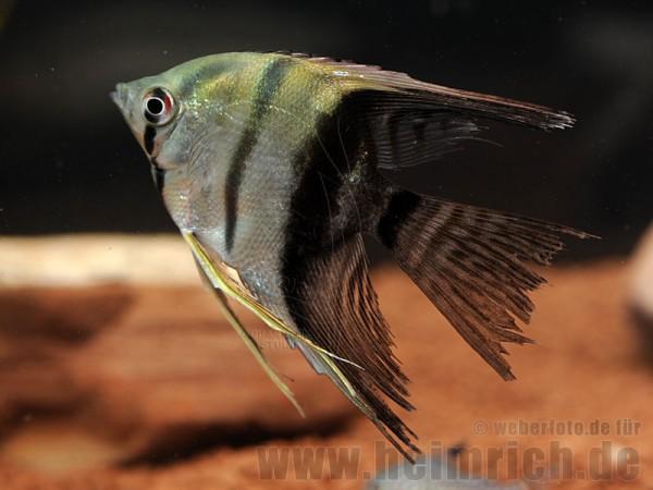 "Skalar ""BICOLOR"" long fin, medium (Pterophyllum Scalare)"