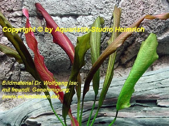 Echinodorus Dschungelstar Nr.16 (E16 Echin. Rote Mamba; Fa. Denn
