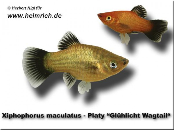 "Platy PREMIUM-""Glühlicht Wagtail"", lg (Xiph. mac., spec.)"