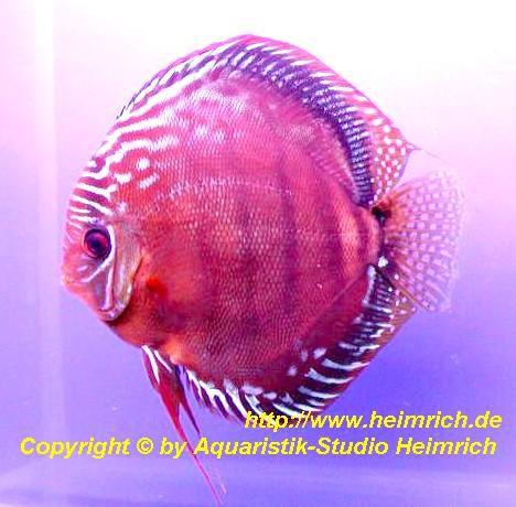 Diskus Alenquer - Größe 6,5cm