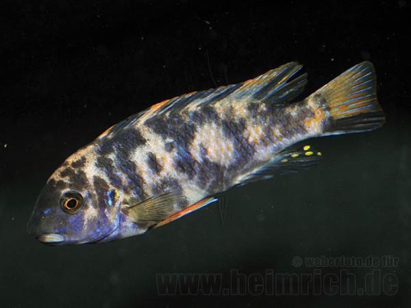 Labeotropheus trewavasae, spec. Marmalade Cat (männlich)