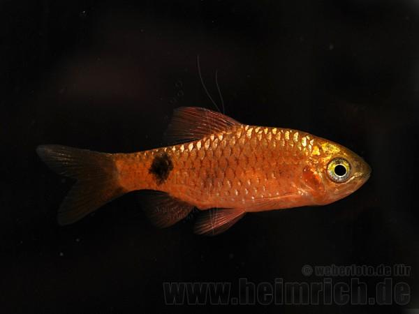 Puntius conchonius, spec. Red Fire (Prachtbarbe)