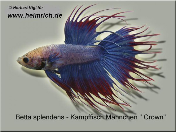 Siam. Kampffisch CROWN, Blau/ Rot lg (Betta splendens)