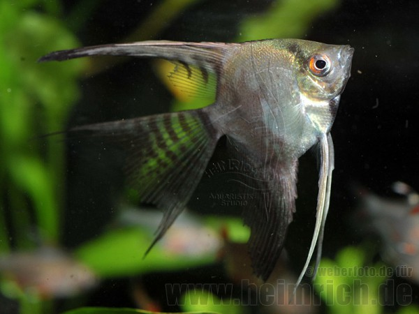 "Skalar ""CALIFORNIA"" long fin, medium (Pterophyllum Scalare)"
