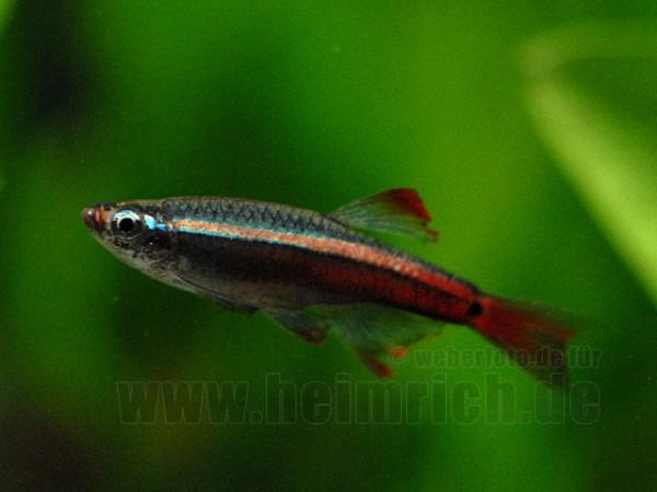 Kardinalfisch, lg Schleier (Tanichthys albonubes)