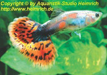 Guppy, Farbschlag Aquamarin Mosaik