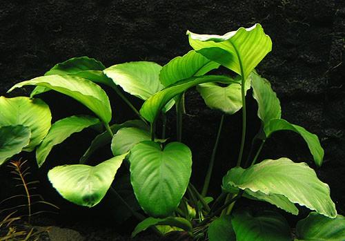 Anubia barteri var. caladifolia