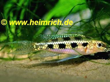 Crenicara filamentosa (Gabelschwanz-Schachbrettcichlide)