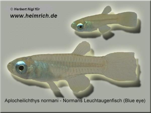 Normans Leuchtaugenfisch (Aplocheilichthys normani)