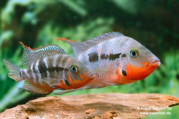 Thorichthys meeki Rio Candelaria XL, female