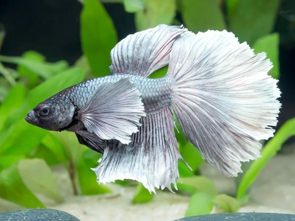 Siam. Kampffisch PREMIUM-Special 'Halfmoon Bigear', lg (Betta splendens)