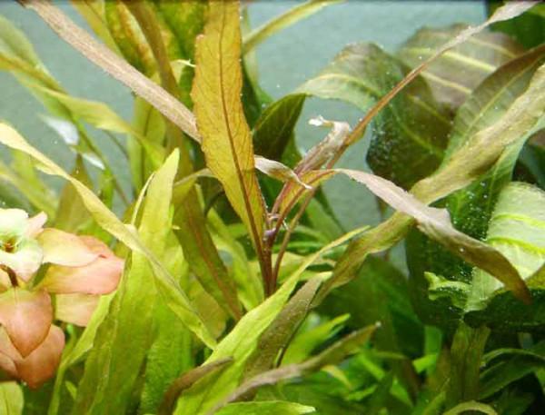 Nomaphila stricta var. parviflora