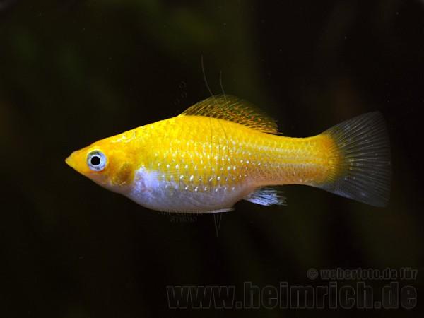 Poecilia latipinna, Neon Orange lg (Breitflossenkärpfling)