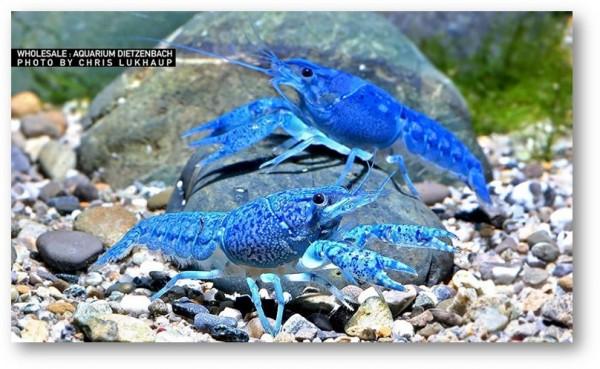 Procambarus alleni - Metallic Blauer Floridahummer