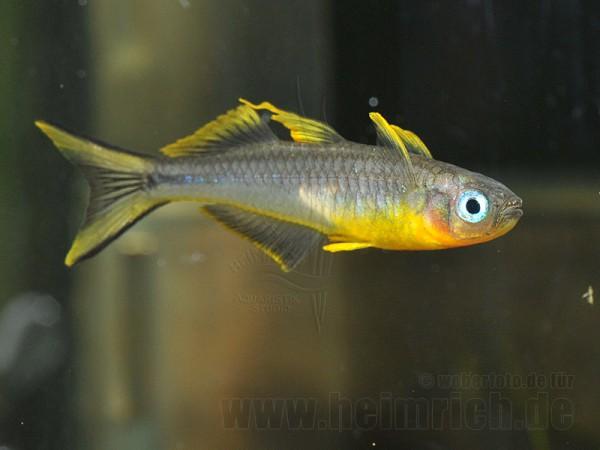 Gabelschwanz-Regenbogenfisch (Popondetta furcata)