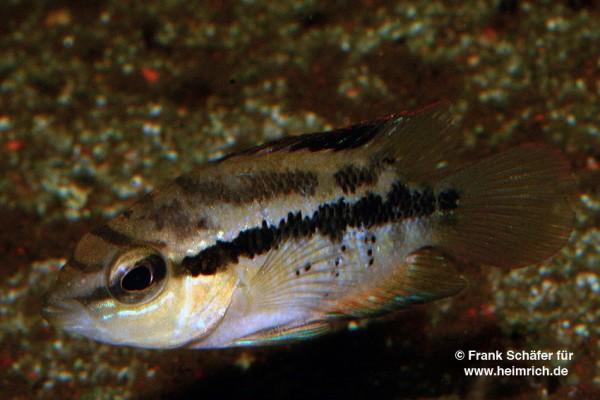 Trichromis salvini XL, female (Salvins Buntbarsch)