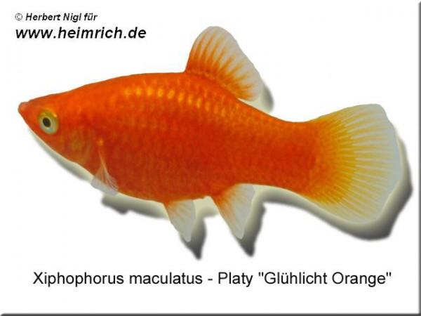 """Platy PREMIUM-""""Glühlicht Orange"""", lg (Xiph. mac., spec.)"""