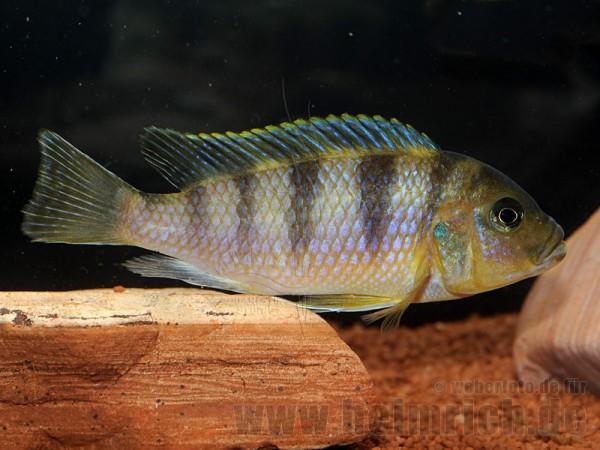Metriaclima hajomaylandi (weiblich)